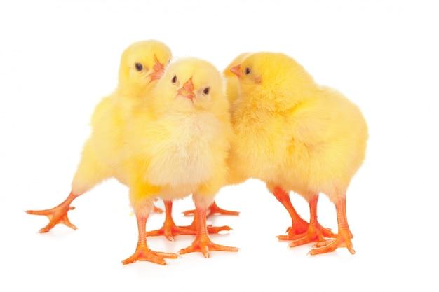 Groupe de poulets isolés Photo Premium