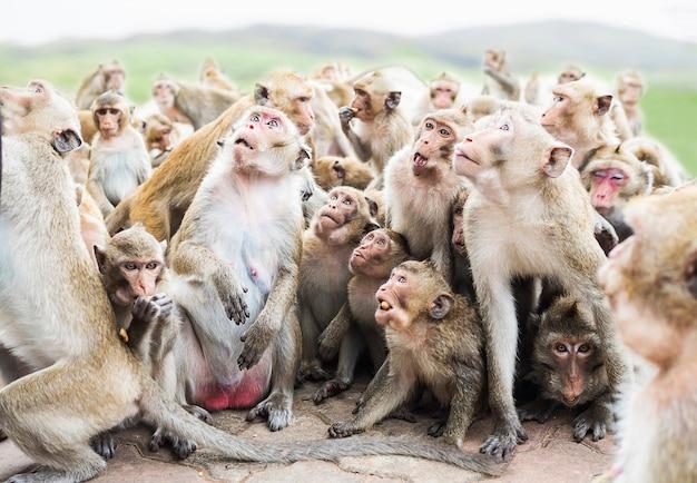 Groupe de singes attendent et mangent leur nourriture sur fond de montagne flou Photo gratuit
