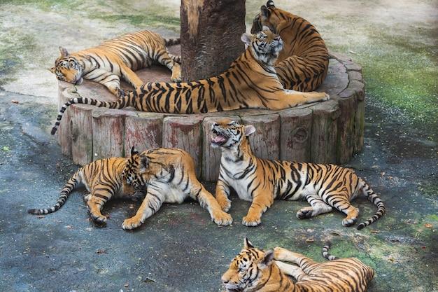 Groupe de tigres du bengale au repos et au repos Photo Premium