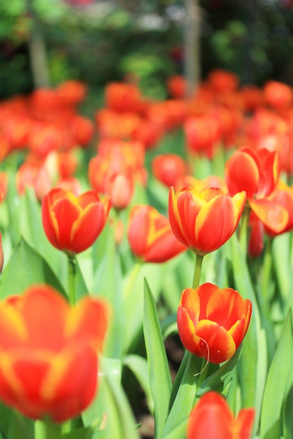 Groupe de tulipes Photo gratuit