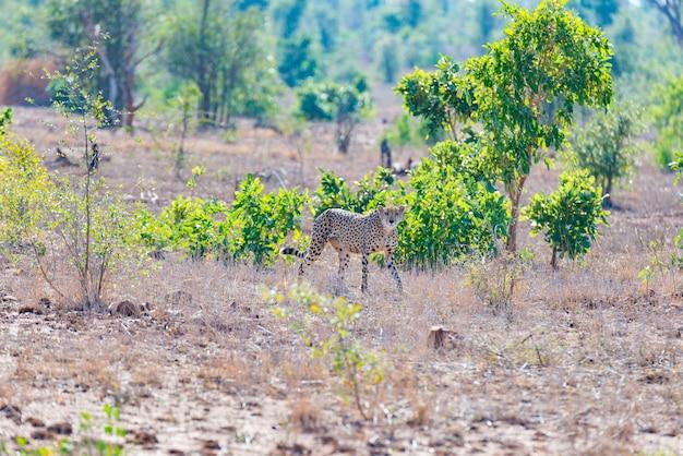 Guépard en position de chasse prêt à courir pour une embuscade. Photo Premium
