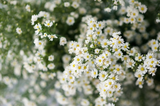 Gypsophile Photo Premium