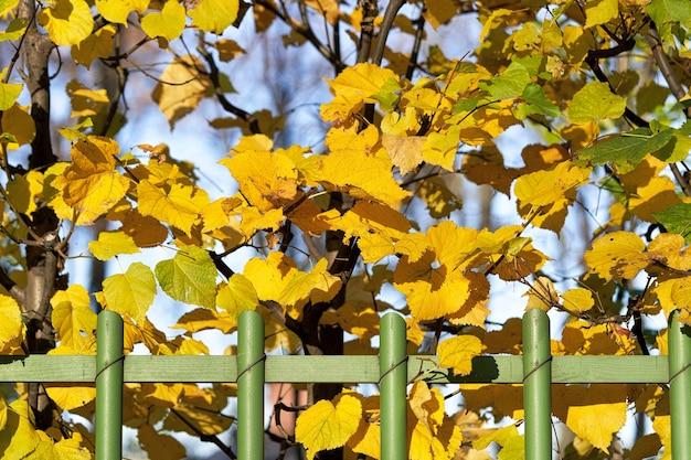 Haie En Bois Vert Avec Fond De Feuilles D'automne Jaune Photo Premium
