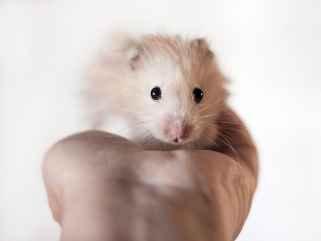 Hamster moelleux est tenue dans les paumes Photo Premium