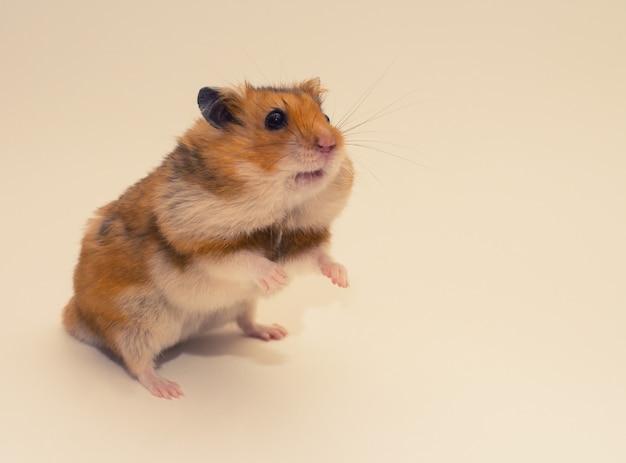 Hamster Syrien Mignon Avec De La Nourriture Dans Ses Poches De Joue Photo Premium
