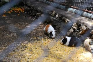Hamsters au zoo de surabaya Photo gratuit