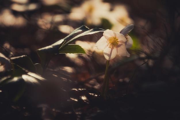 Helleborus niger fleur dans la forêt de printemps Photo Premium