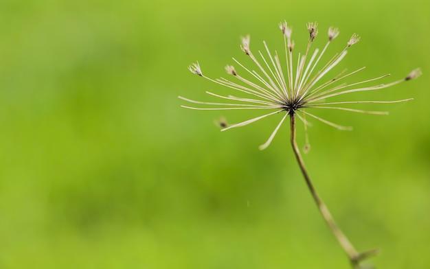 Heracleum Mantegazzianum Se Bouchent Photo Premium