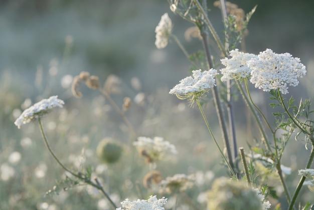 Herbe de prairie sauvage sous le soleil du matin. Photo Premium