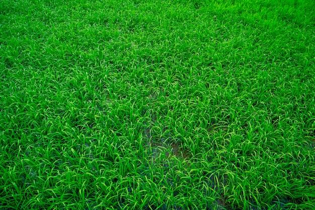 Herbe Verte Brillante Photo Premium