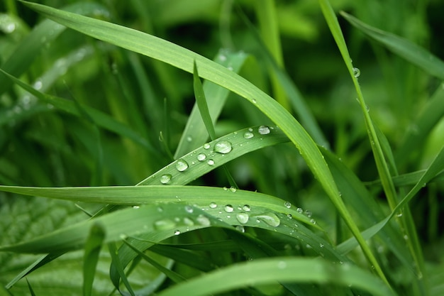 Herbe verte avec des gouttes d'eau. après la pluie Photo Premium