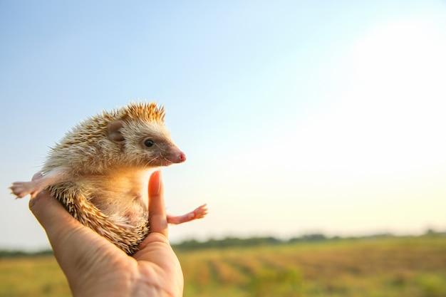 Hérisson drôle peut voler dans les mains avec le fond de la nature Photo Premium