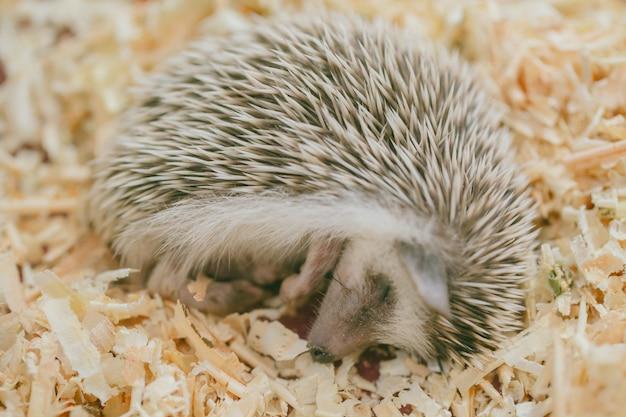 Hérisson paresseux mignonne exotique dormant sur un lit en bois Photo Premium