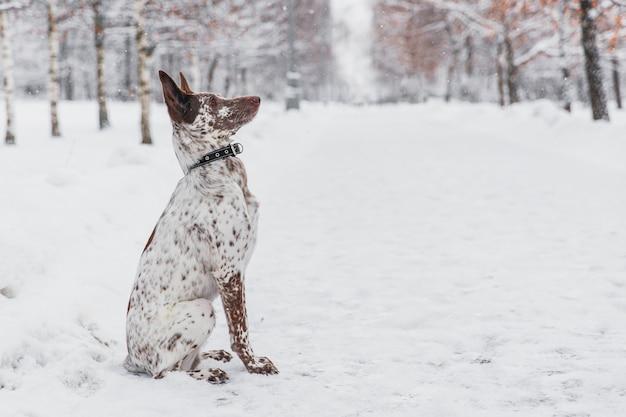 Heureux chien blanc-brun au collier, assis sur un champ neigeux dans la forêt de l'hiver Photo Premium