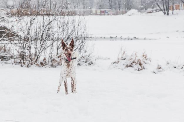 Heureux chien blanc-brun au collier sur un champ enneigé dans la forêt de l'hiver Photo Premium