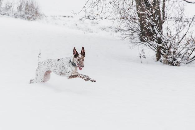 Heureux chien blanc-brun au collier en cours d'exécution sur un champ neigeux dans la forêt de l'hiver Photo Premium