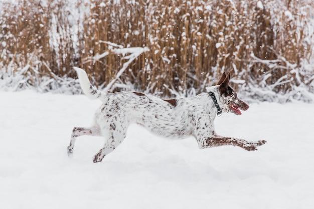 Heureux chien blanc-brun au collier en cours d'exécution sur un champ neigeux en hiver Photo Premium