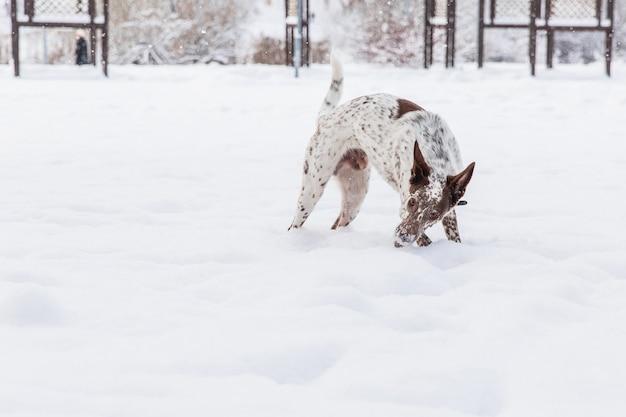 Heureux chien blanc-brun en collier jouant sur un champ neigeux dans la forêt de l'hiver Photo Premium