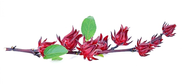 Hibiscus sabdariffa ou fruits roselle isolés sur fond blanc. Photo Premium