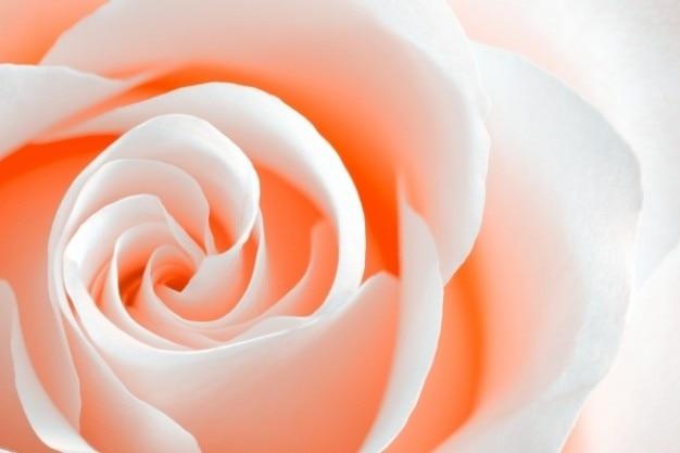 High Key Rose Macro Orange Pêche Photo gratuit