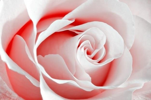 High Key Rose Macro Rouge Photo gratuit