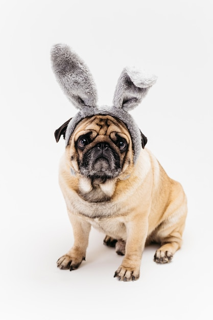 Hilarious mignon carlin compact dans les oreilles de lapin Photo gratuit