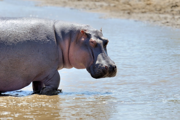 Hippo Dans La Savane Photo gratuit