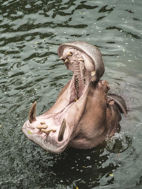 Un hippopotame dans l'eau Photo Premium