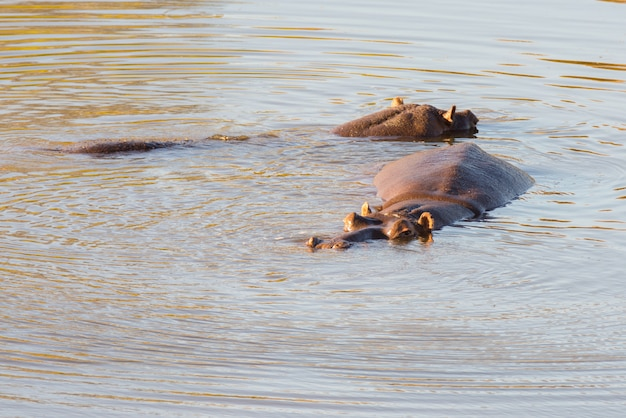 Hippopotames dans l'eau, parc national kruger Photo Premium