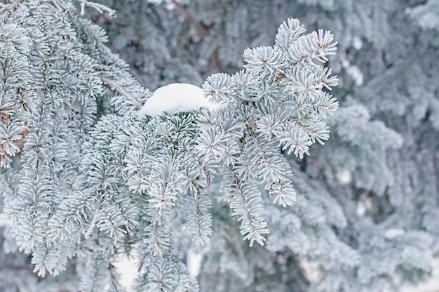 L'hiver . sapin à feuilles persistantes dans le givre et la neige Photo Premium
