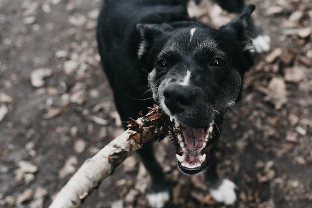 L'homme se défend contre l'attaque d'un méchant chien avec un bâton. l'animal attaque l'homme et tente de mordre. Photo Premium