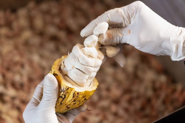 Homme Tenant Un Fruit De Cacao Mûr Avec Des Haricots à L'intérieur. Photo Premium