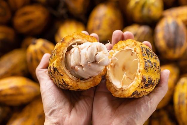 Homme tenant un fruit de cacao mûr inhand avec des haricots à l'intérieur. Photo Premium
