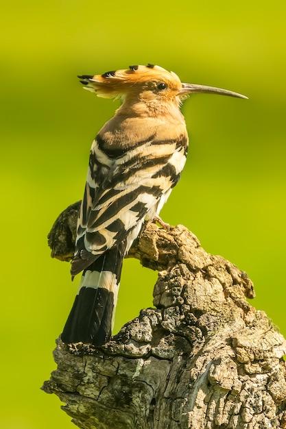Hoopoe Perché Sur Une Branche En Bois Photo Premium