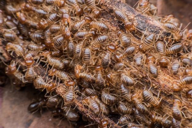 Hordes de termites mangeant du bois pourri Photo Premium
