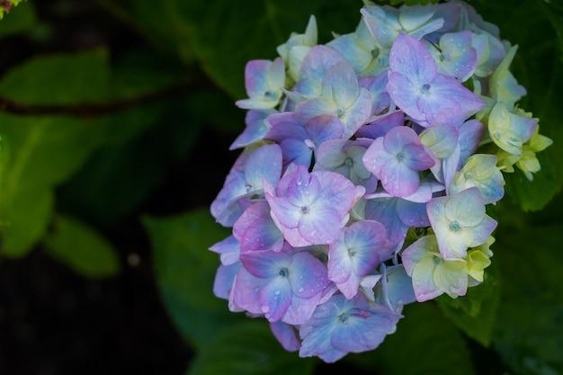 Hortensia. fleurs bleues après la pluie Photo Premium