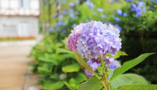 Hortensia en fleurs dans le jardin. Photo Premium