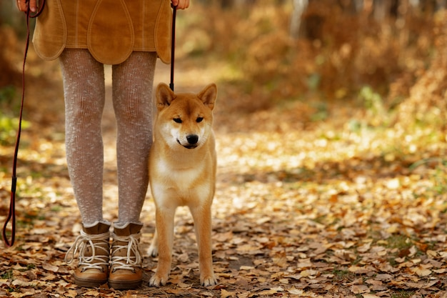 Humeur d'automne. shiba inu beau chien chiot sur paysage d'automne coloré. Photo Premium