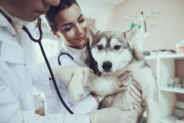 Husky sibérien à la clinique vétérinaire doc avec stéthoscope Photo Premium