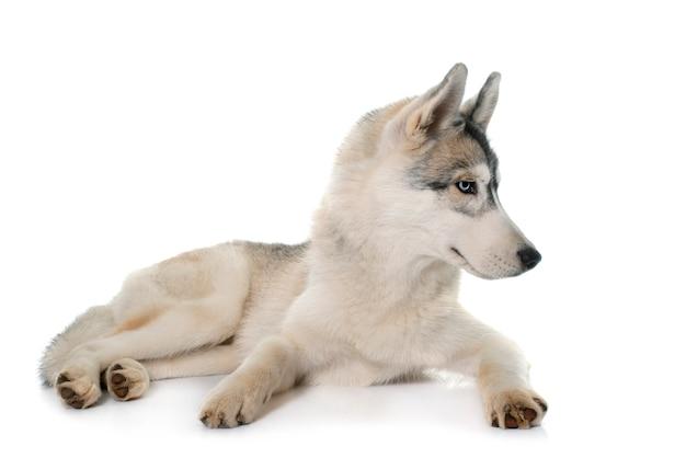 Husky Sibérien Gris Photo Premium