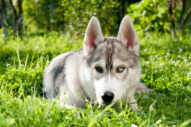 Husky sibérien se trouve sur l'herbe en été. yeux différents. Photo Premium