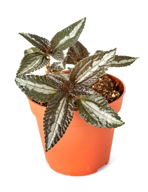Hypoestes plante en studio Photo Premium