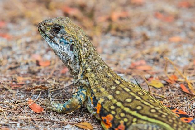 L'iguane d'asie sur la pelouse. Photo Premium