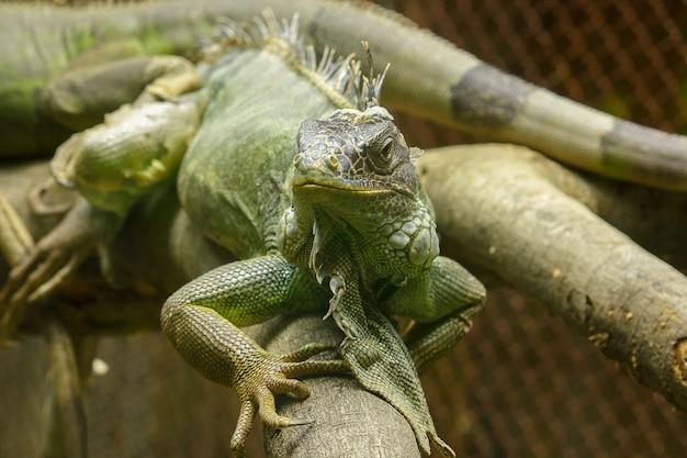 L'iguane Sur Les Branches Est Un Résident De L'amérique Centrale Et De L'amérique Du Sud. Photo Premium