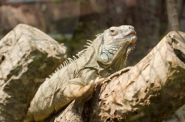 Iguane dans le zoo ouvert, thaïlande Photo Premium