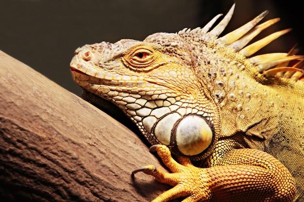 Iguane jaune Photo Premium