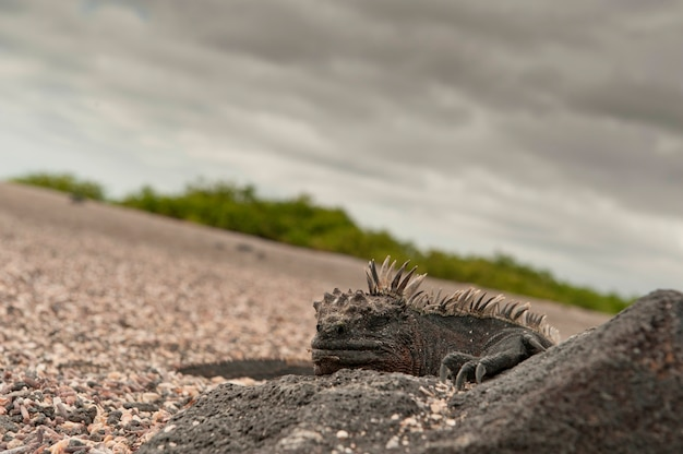 Iguane Marin (amblyrhynchus Cristatus), Punta Espinoza, île Fernandina, îles Galapagos, équateur Photo Premium