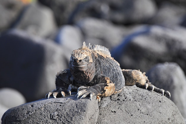 Iguane Marin Photo Premium