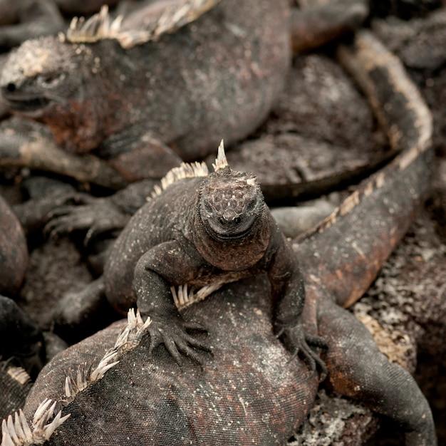 Iguanes Marins (amblyrhynchus Cristatus), Punta Espinoza, île Fernandina, îles Galapagos, équateur Photo Premium