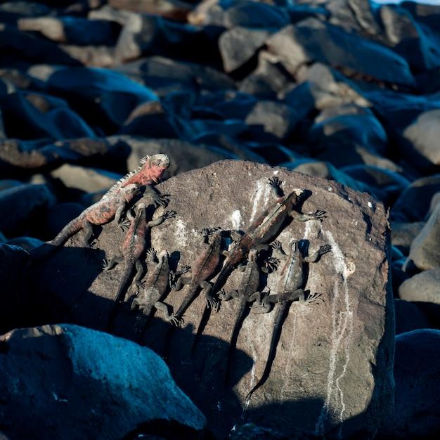 Iguanes Marins (amblyrhynchus Cristatus), Punta Suarez, île D'espanola, îles Galapagos, équateur Photo Premium